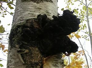 Wild black chaga mushroom