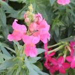snapdragons-epcot flower festival