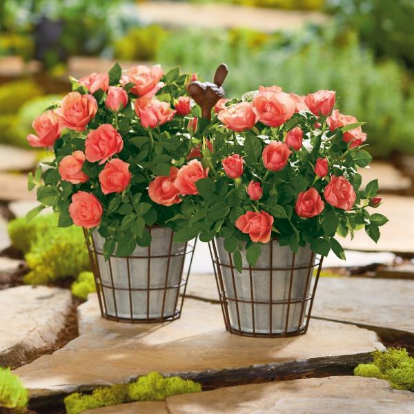 Harry & David - coral mini roses