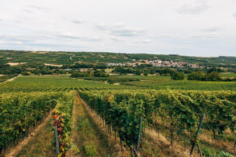 German vineyards Riesling