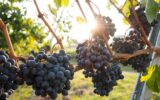 photo credit-grapes unsplash